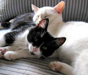 Cats snuggling on sofa.